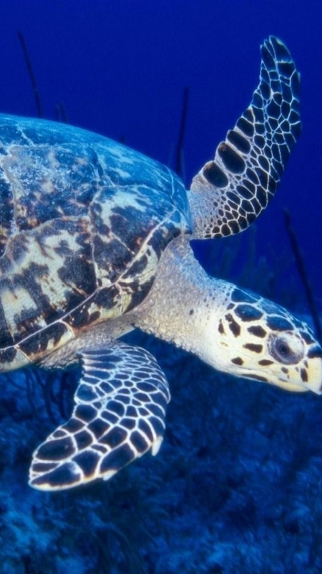 Turtle hd wallpaper