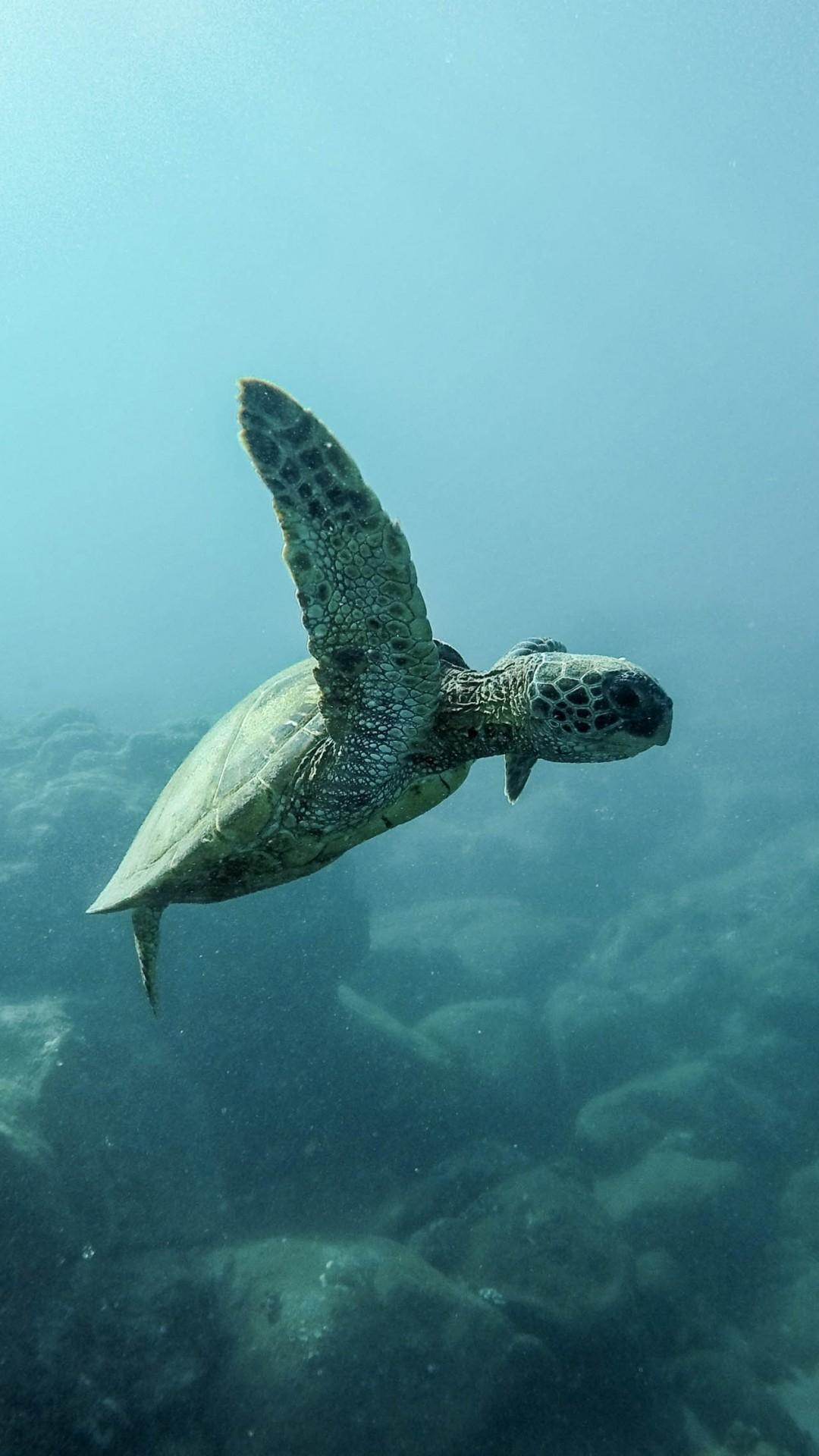 Turtle iPhone 7 wallpaper
