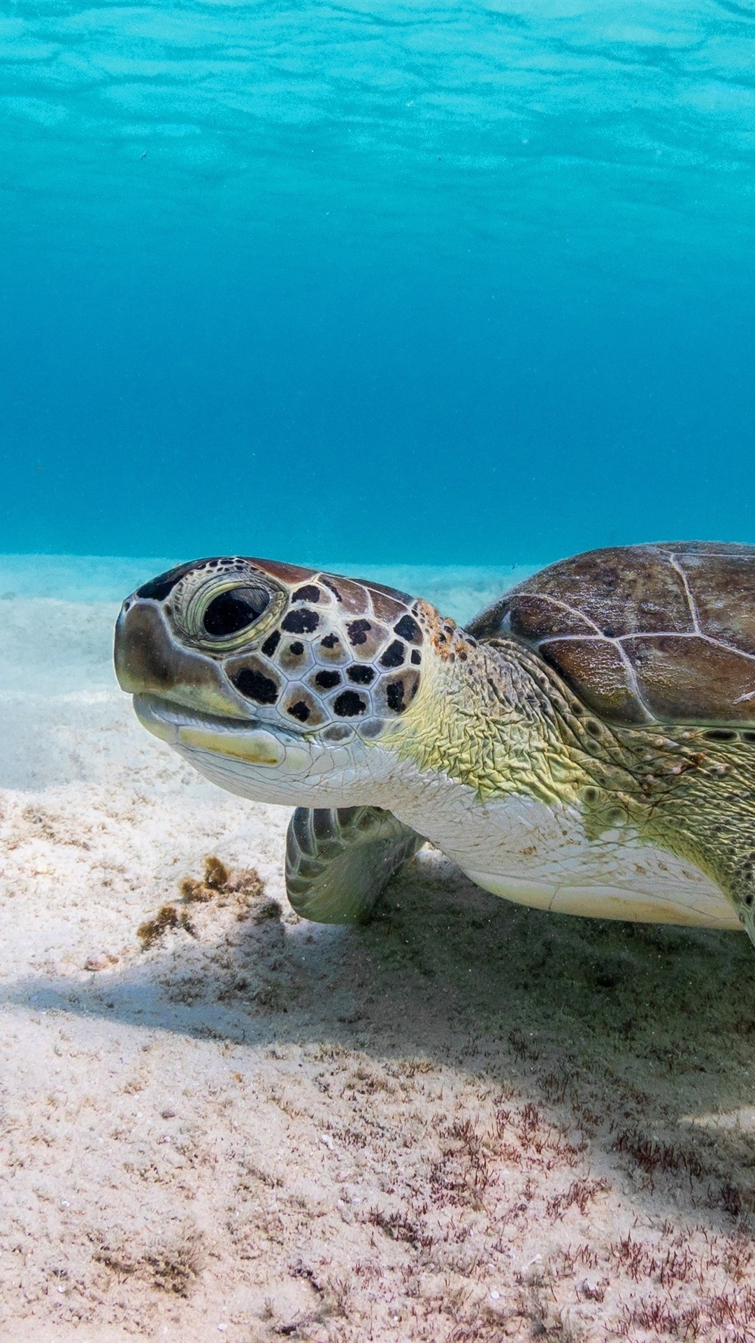Turtle wallpaper for iPhone