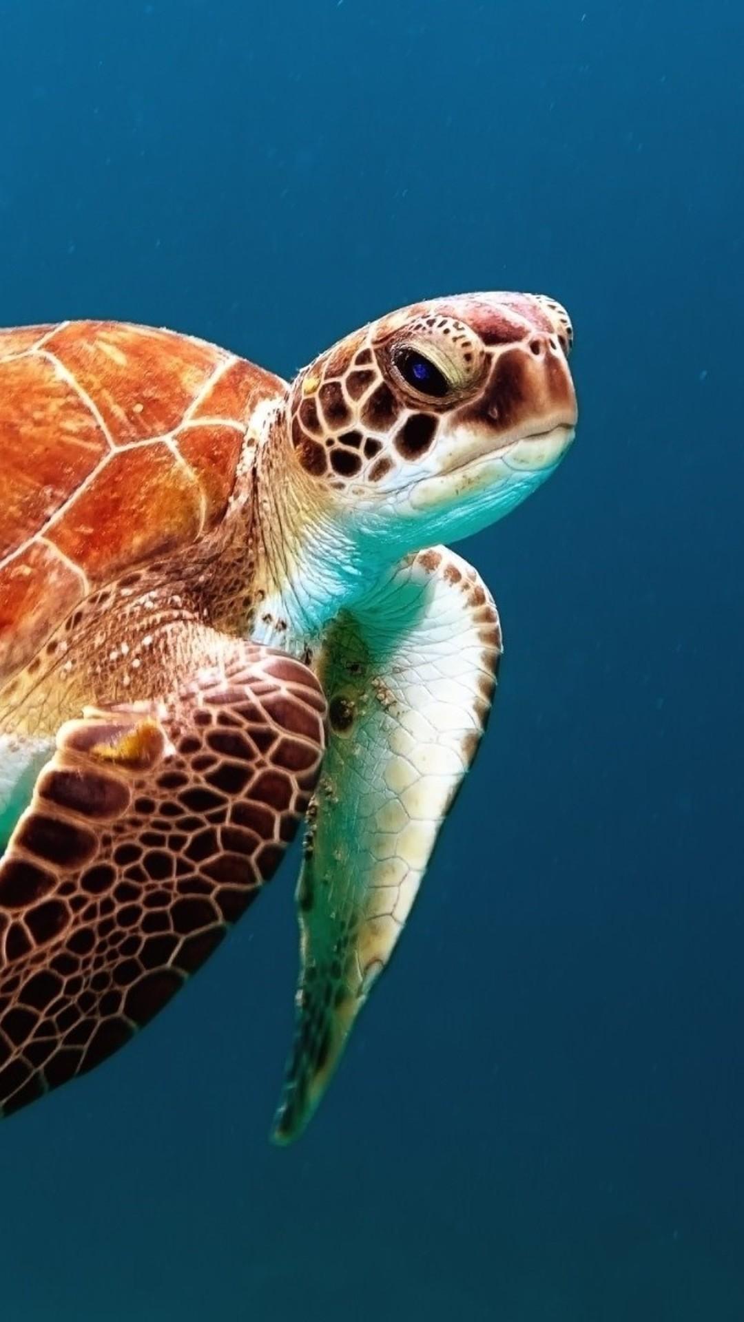 Turtle iPhone 6 wallpaper