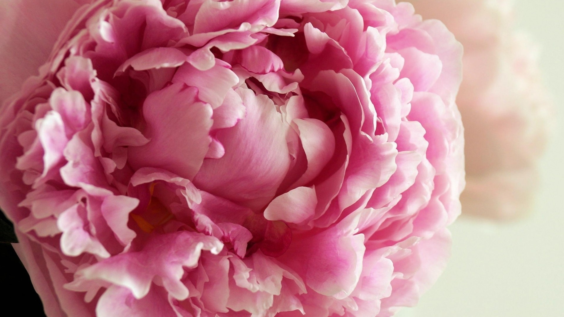 Peonies High Definition