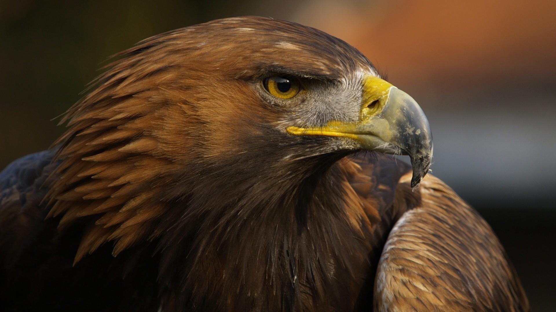 Eagle Background Wallpaper