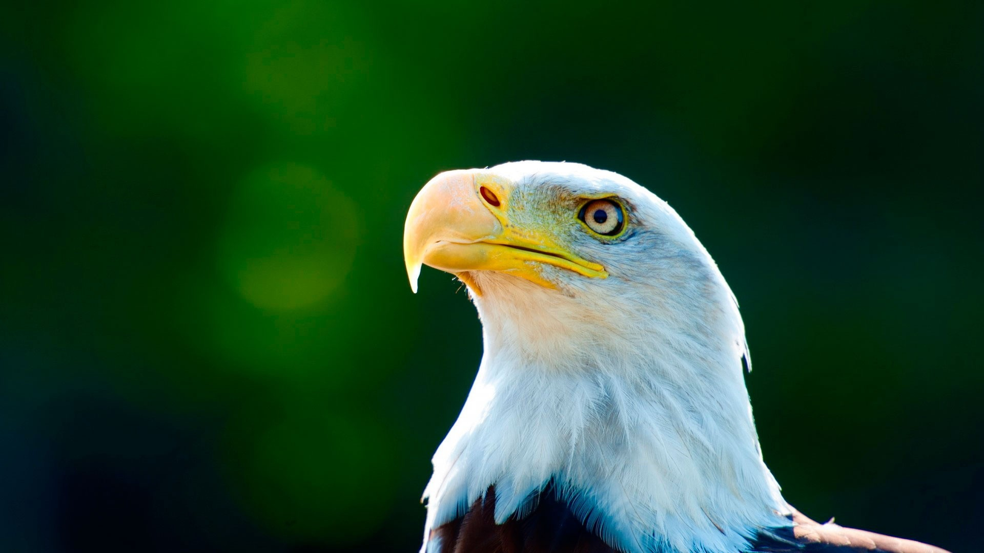 Eagle Free Wallpaper and Background
