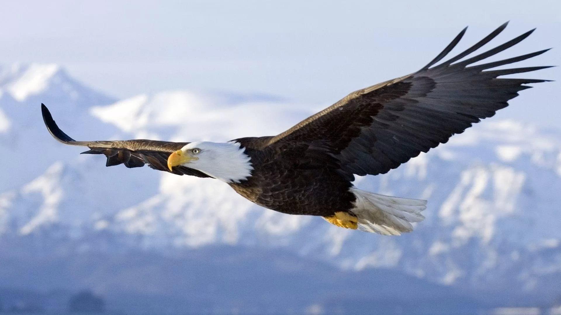 Eagle hd desktop wallpaper