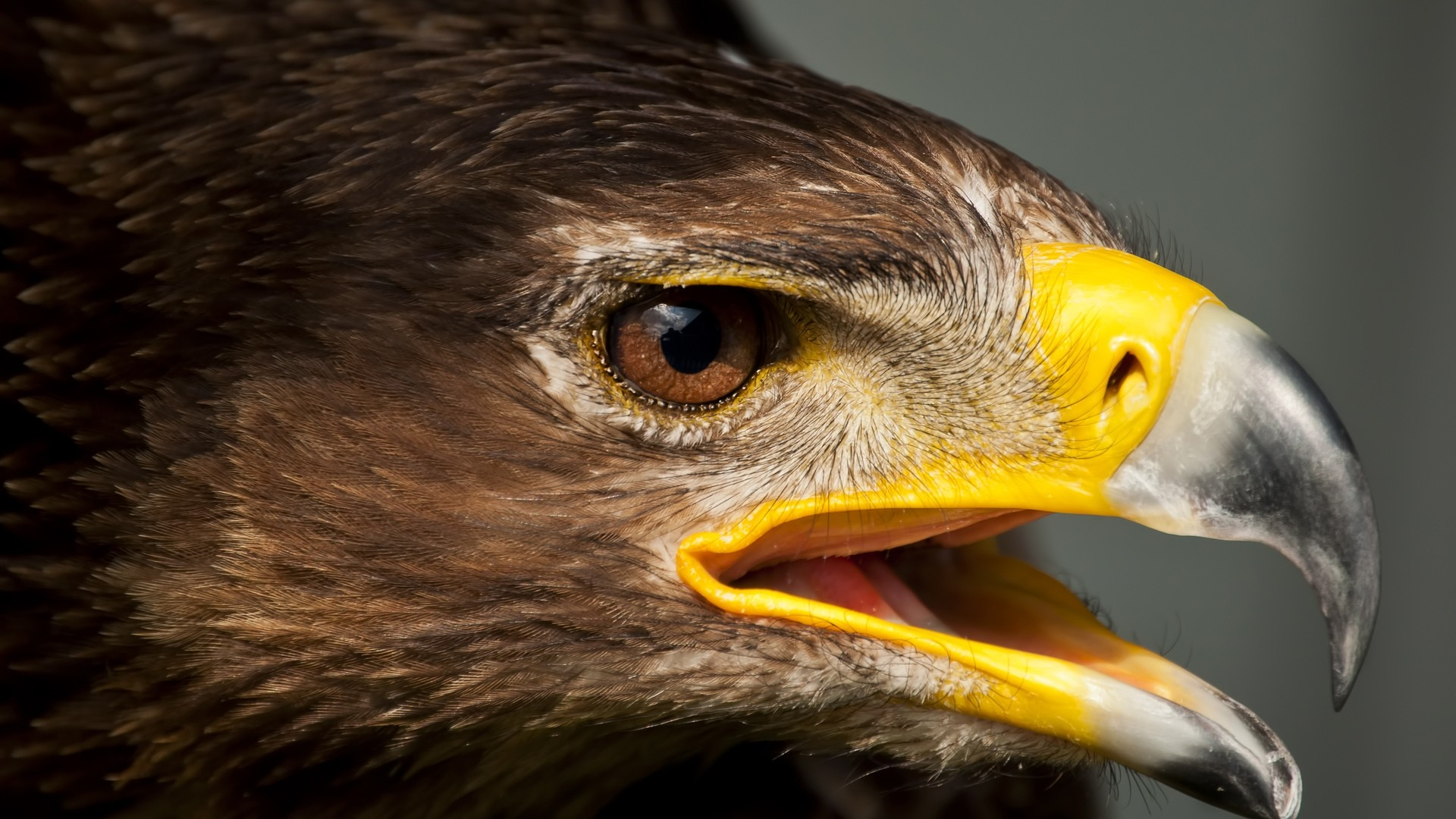 Eagle PC Wallpaper HD