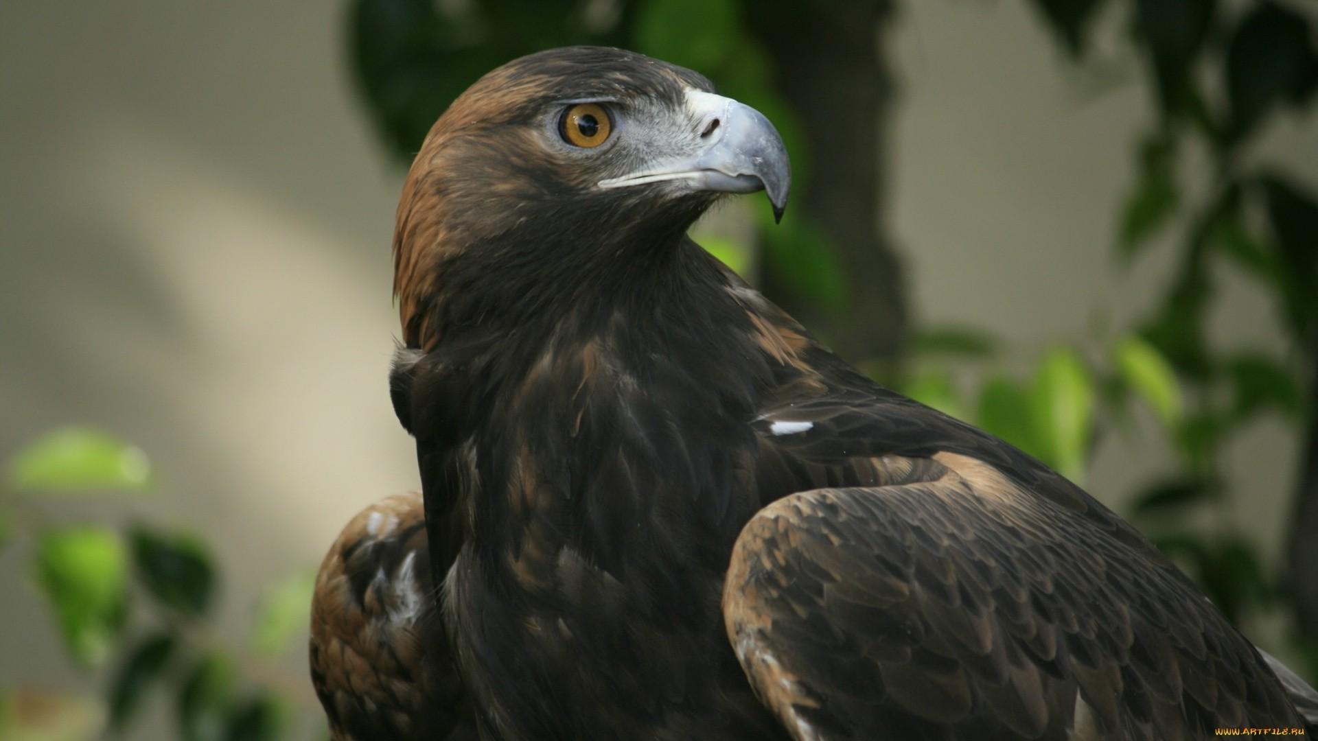 Eagle hd wallpaper download