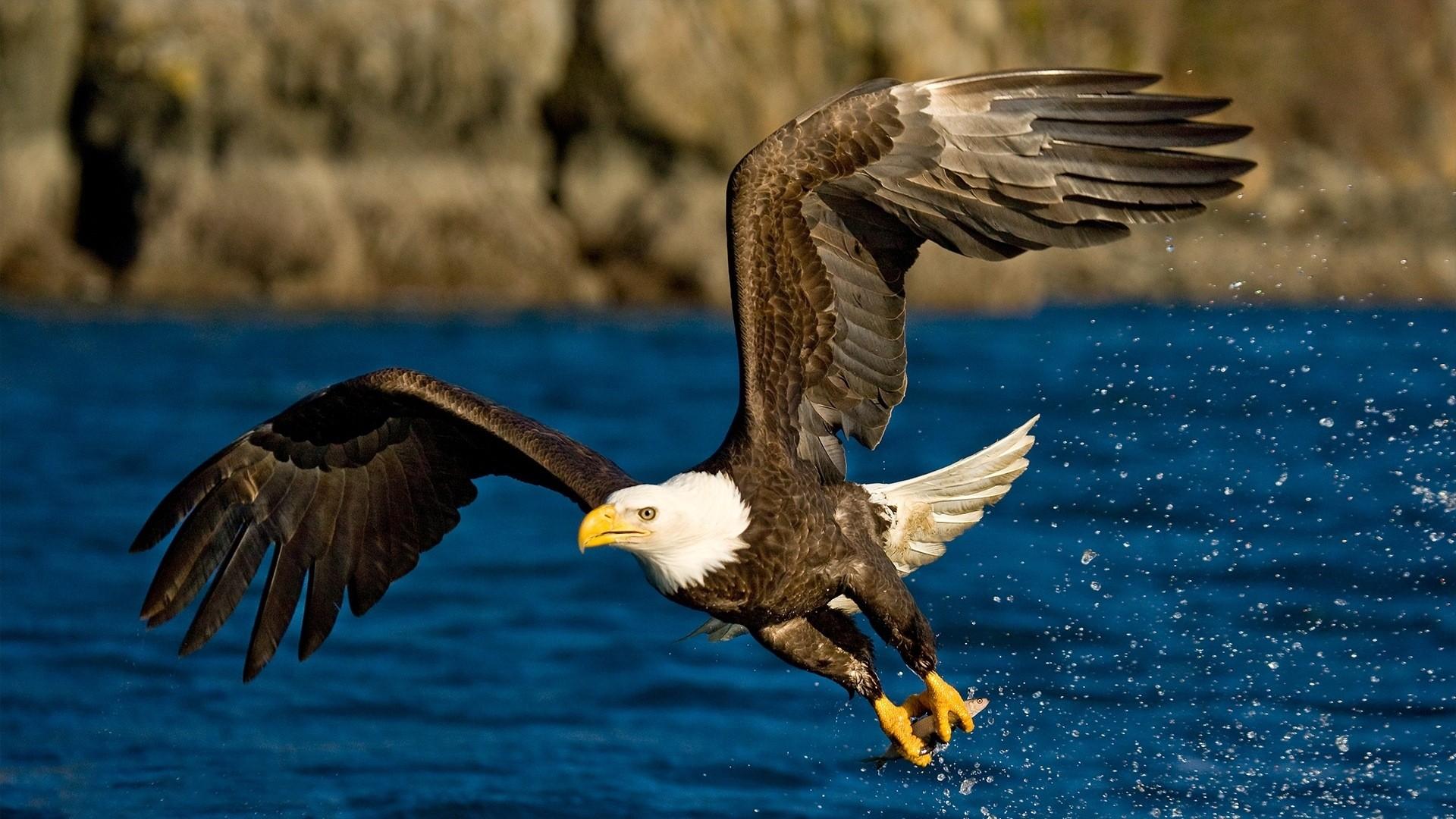 Eagle Full HD Wallpaper