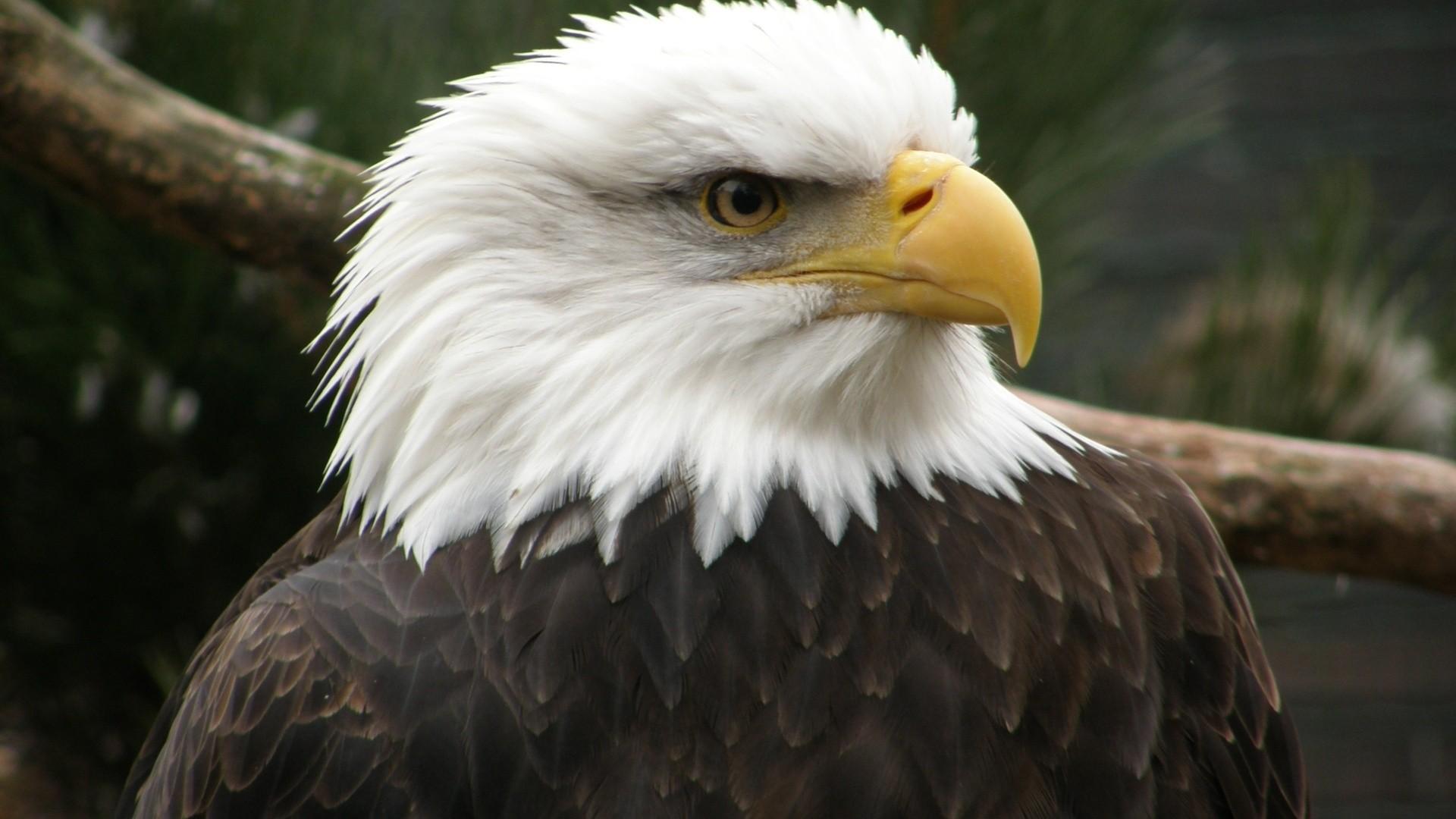 Eagle Wallpaper image hd