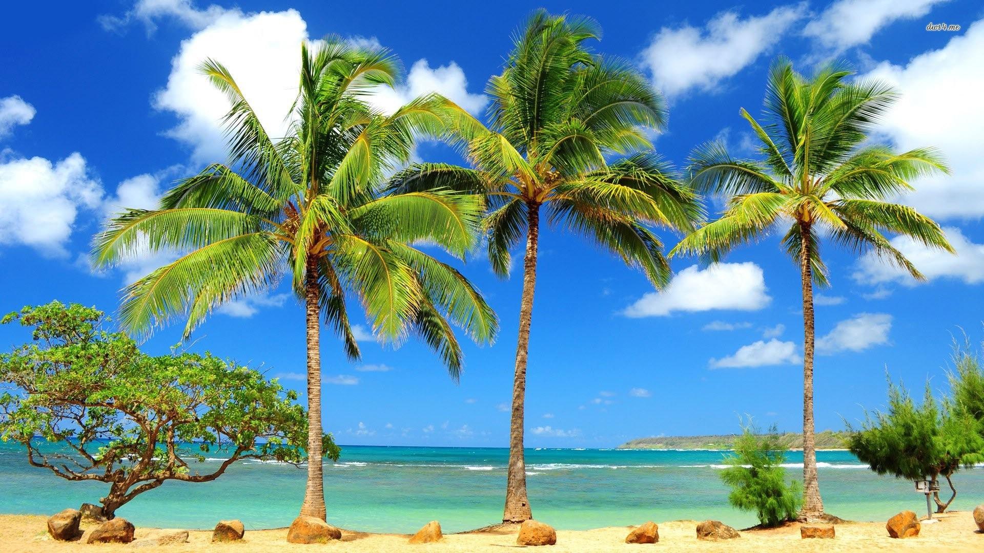 Palm Tree wallpaper photo hd