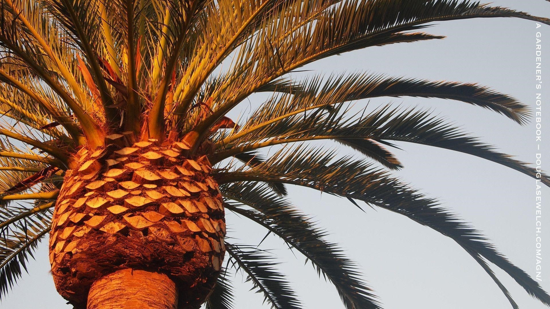 Palm Tree Wallpaper for pc
