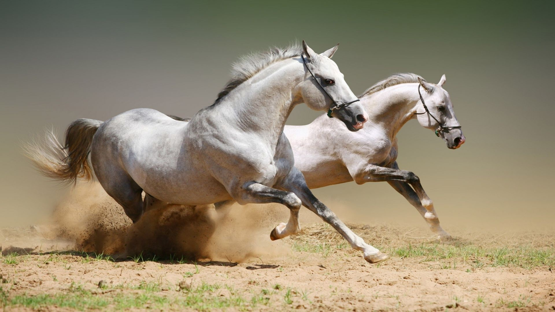 White Horse Wallpaper and Background
