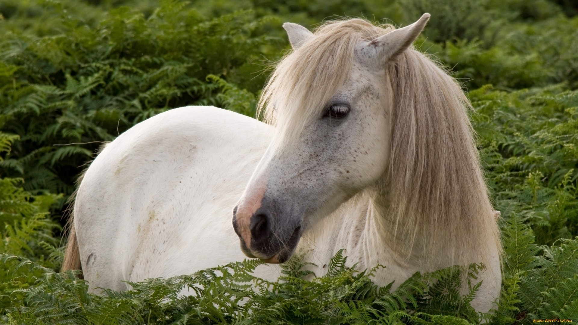 White Horse Free Wallpaper and Background