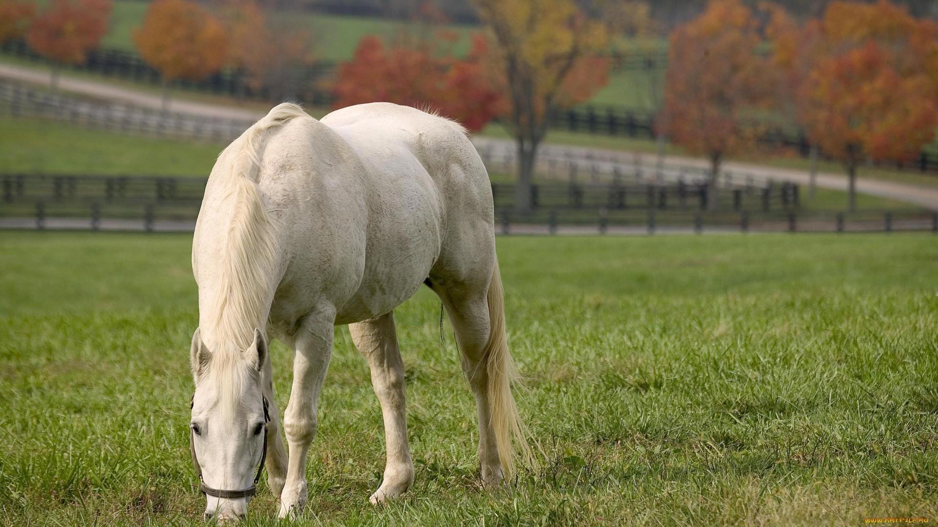 White Horse High Quality