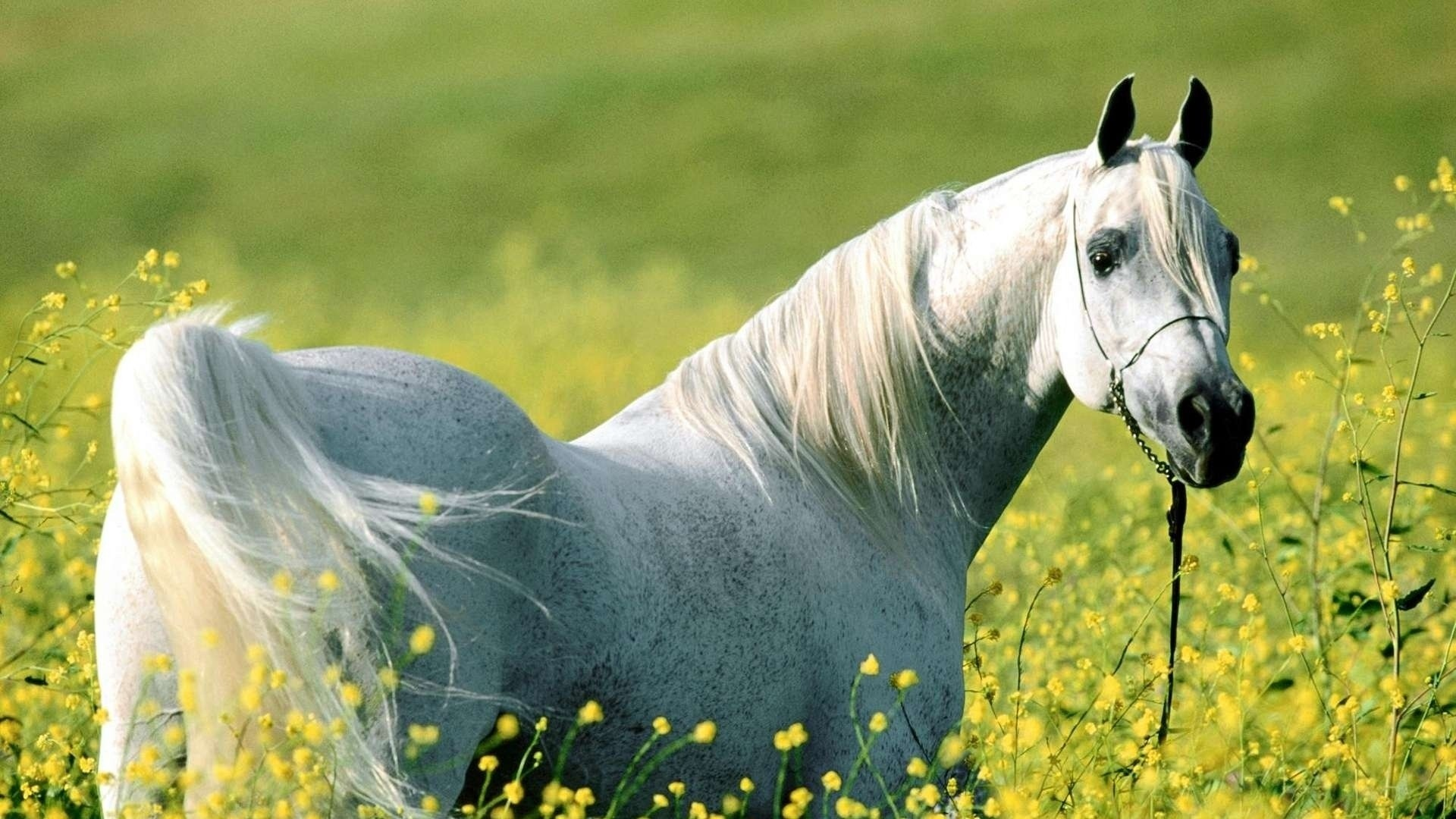 White Horse a wallpaper