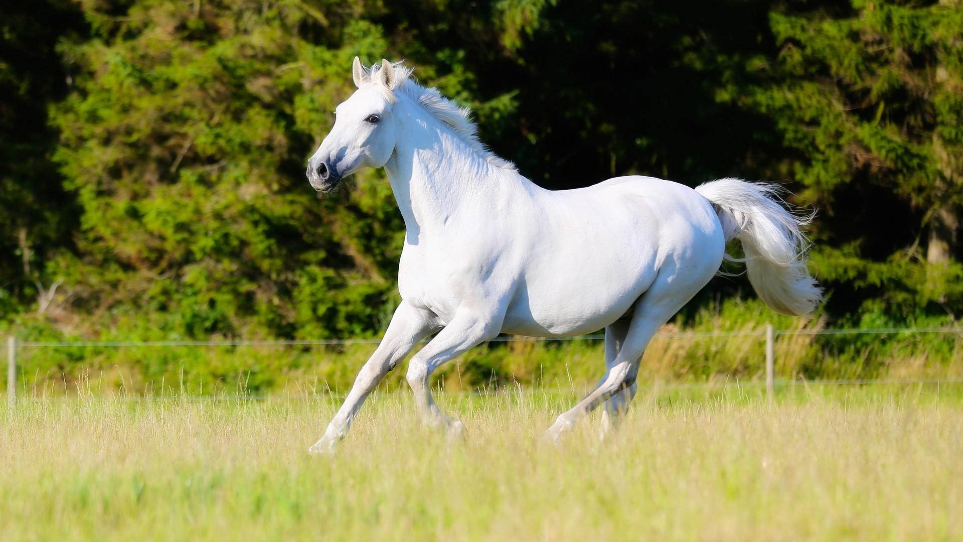 White Horse HD Wallpaper