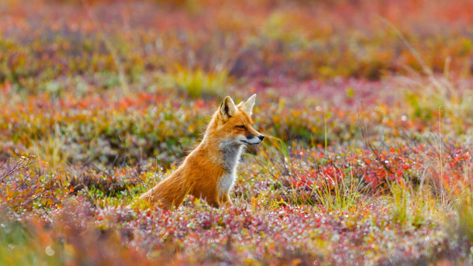 Fox Wallpaper Picture hd