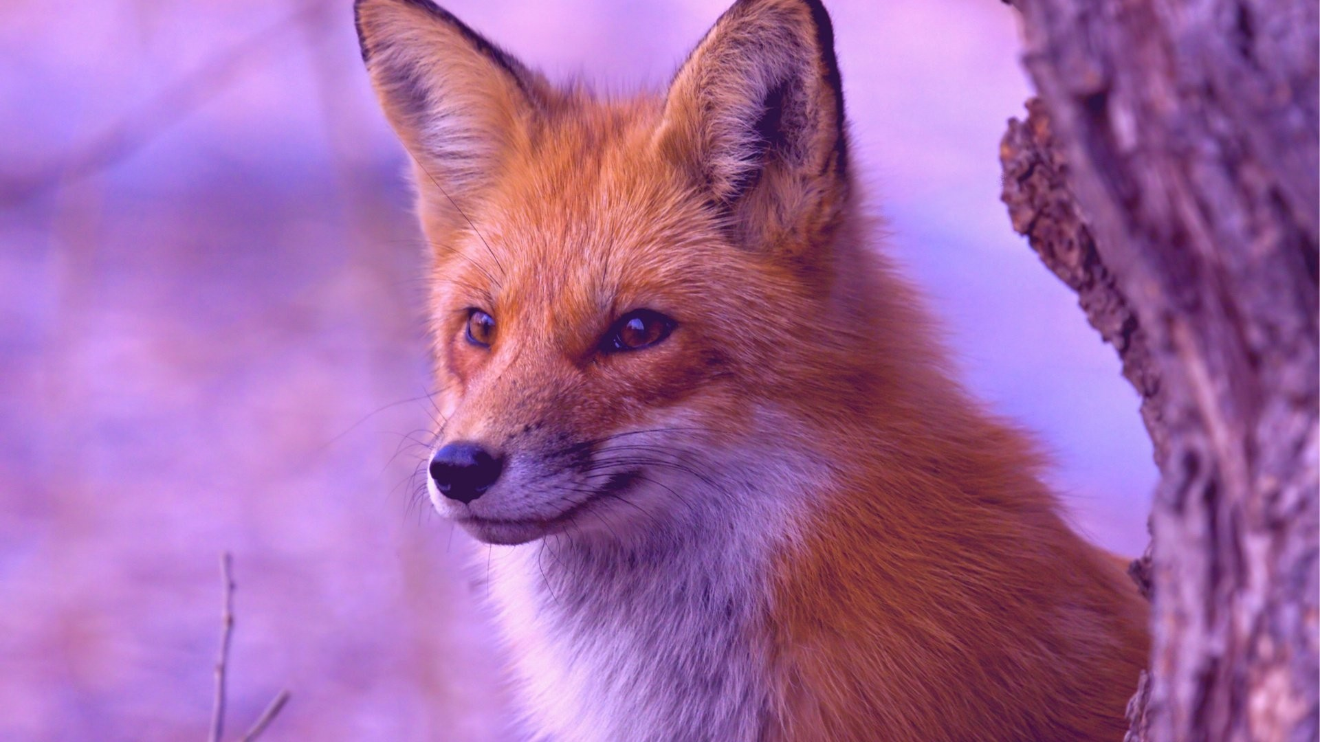 Fox computer wallpaper