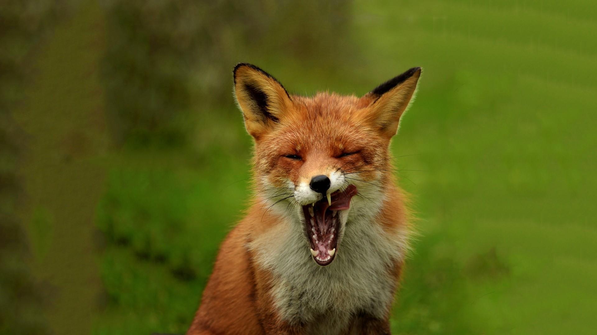 Fox High Quality
