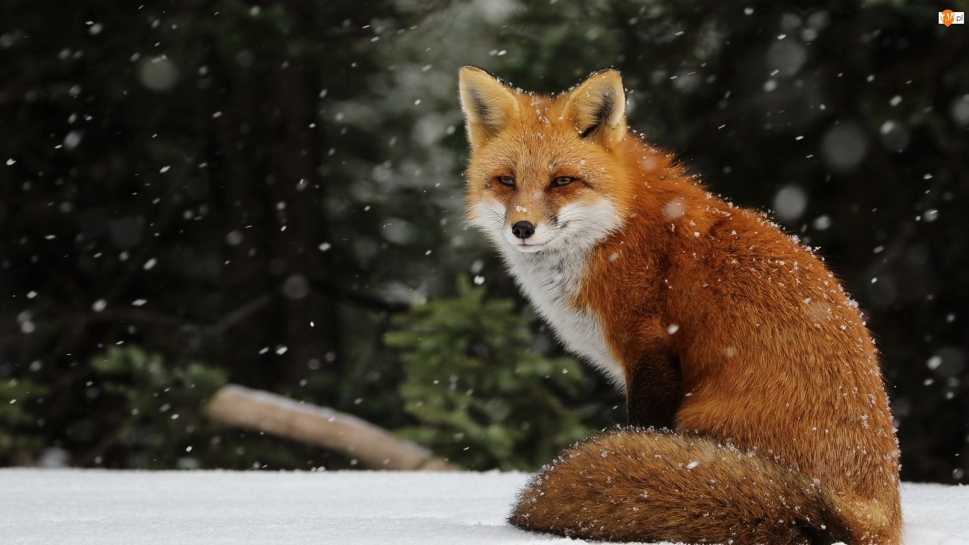 Fox hd wallpaper download