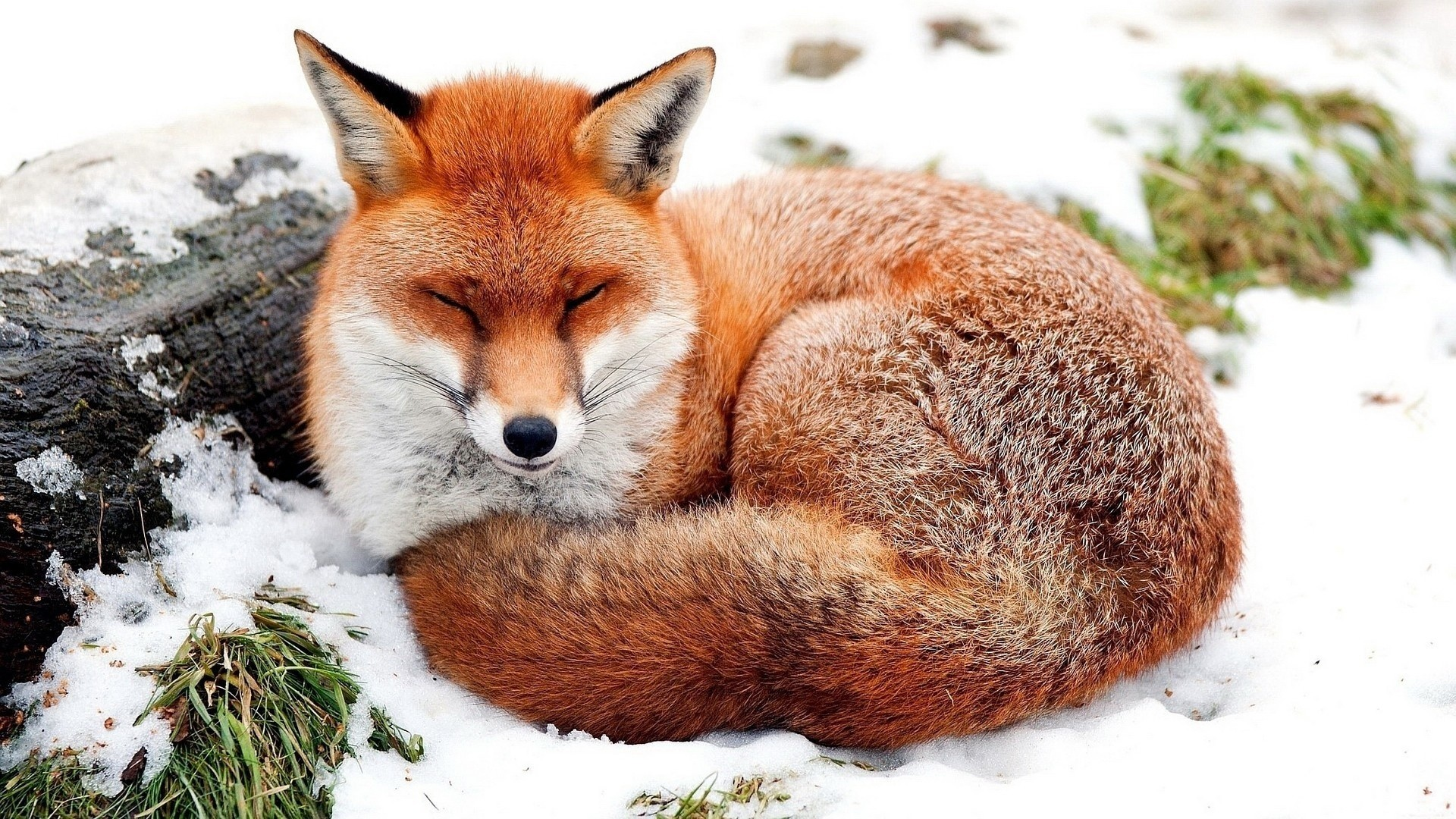 Fox wallpaper photo hd