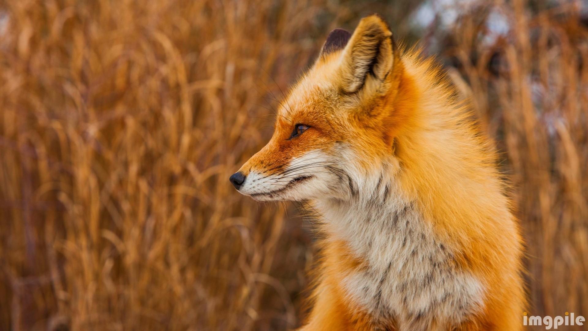 Fox Desktop Wallpaper
