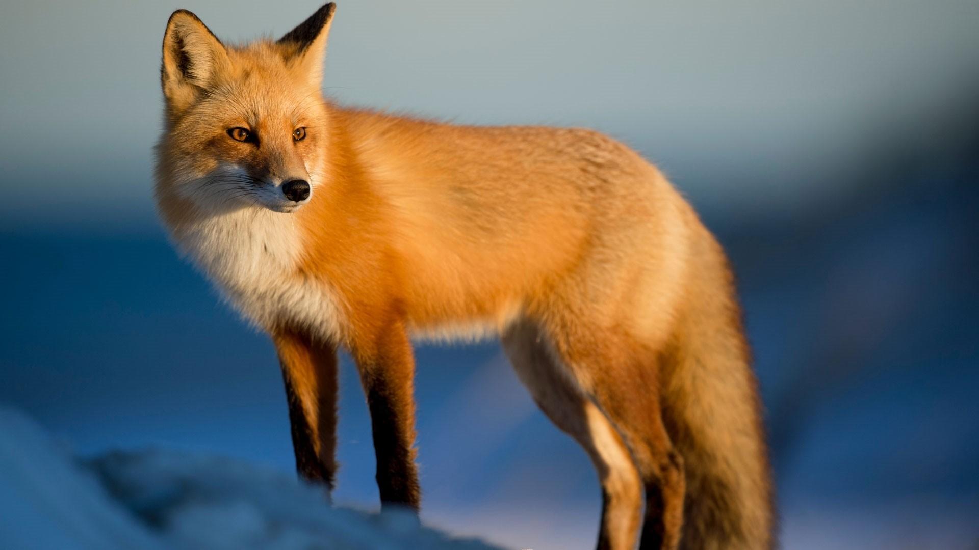 Fox Wallpaper Picture hd