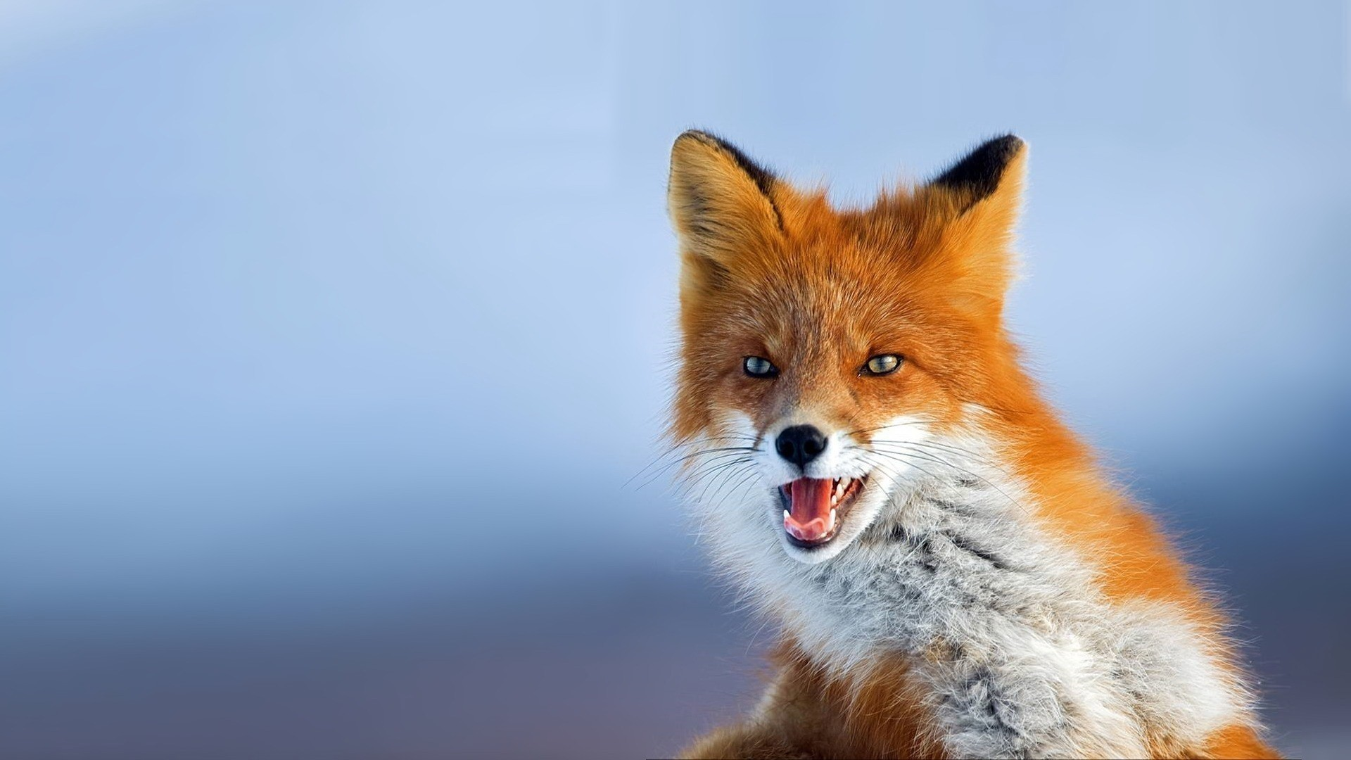 Fox Free Wallpaper