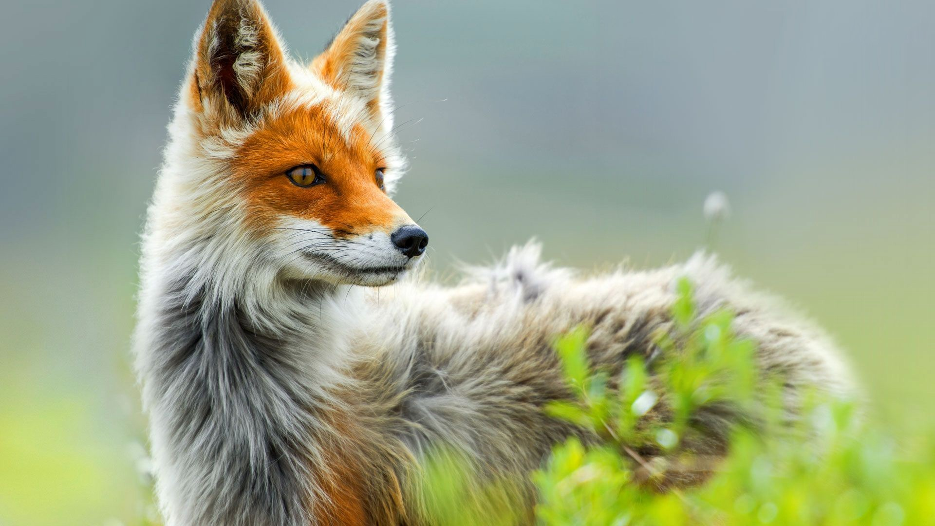 Fox hd wallpaper download