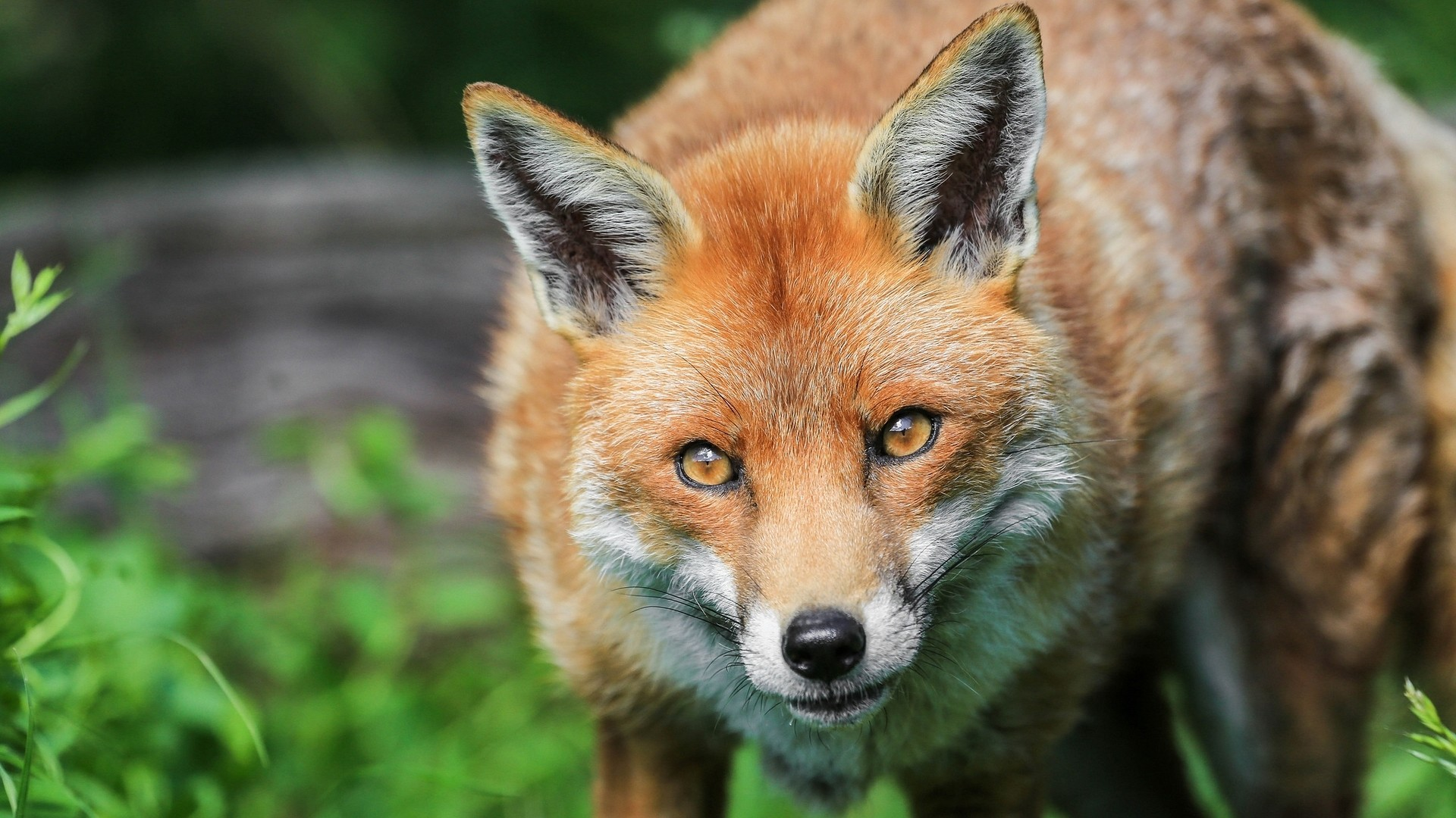 Fox hd desktop wallpaper