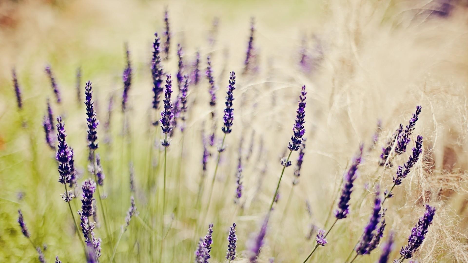 Lavender Image