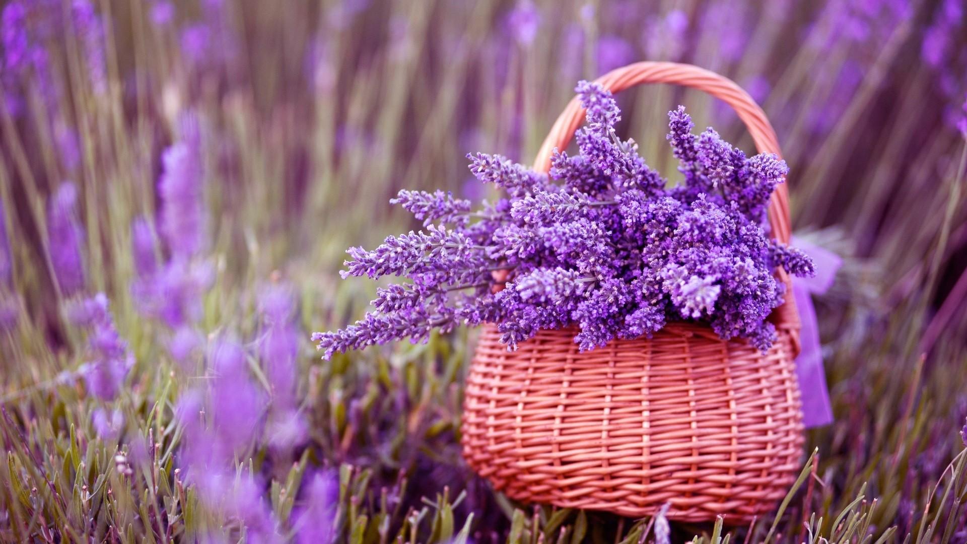 Lavender Wallpaper image hd