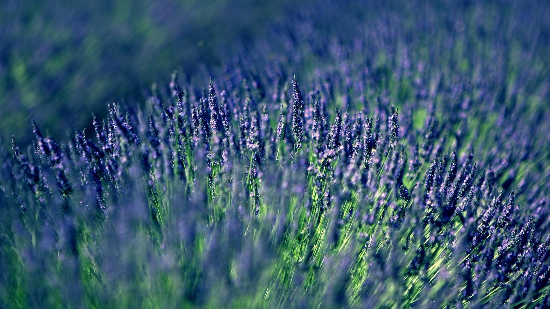 Lavender hd desktop wallpaper