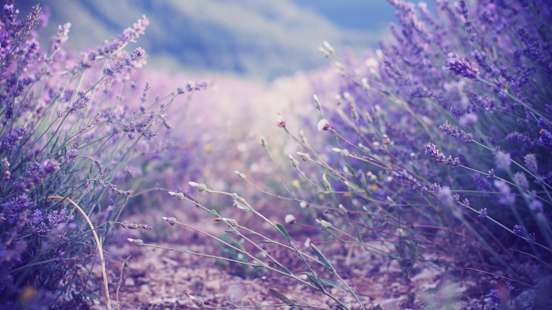 Lavender Background Wallpaper