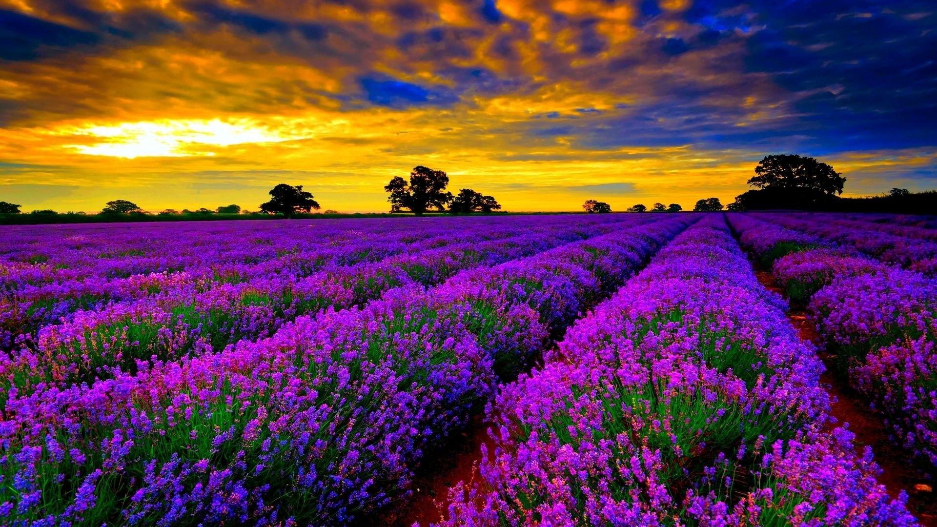 Lavender Wallpaper for pc