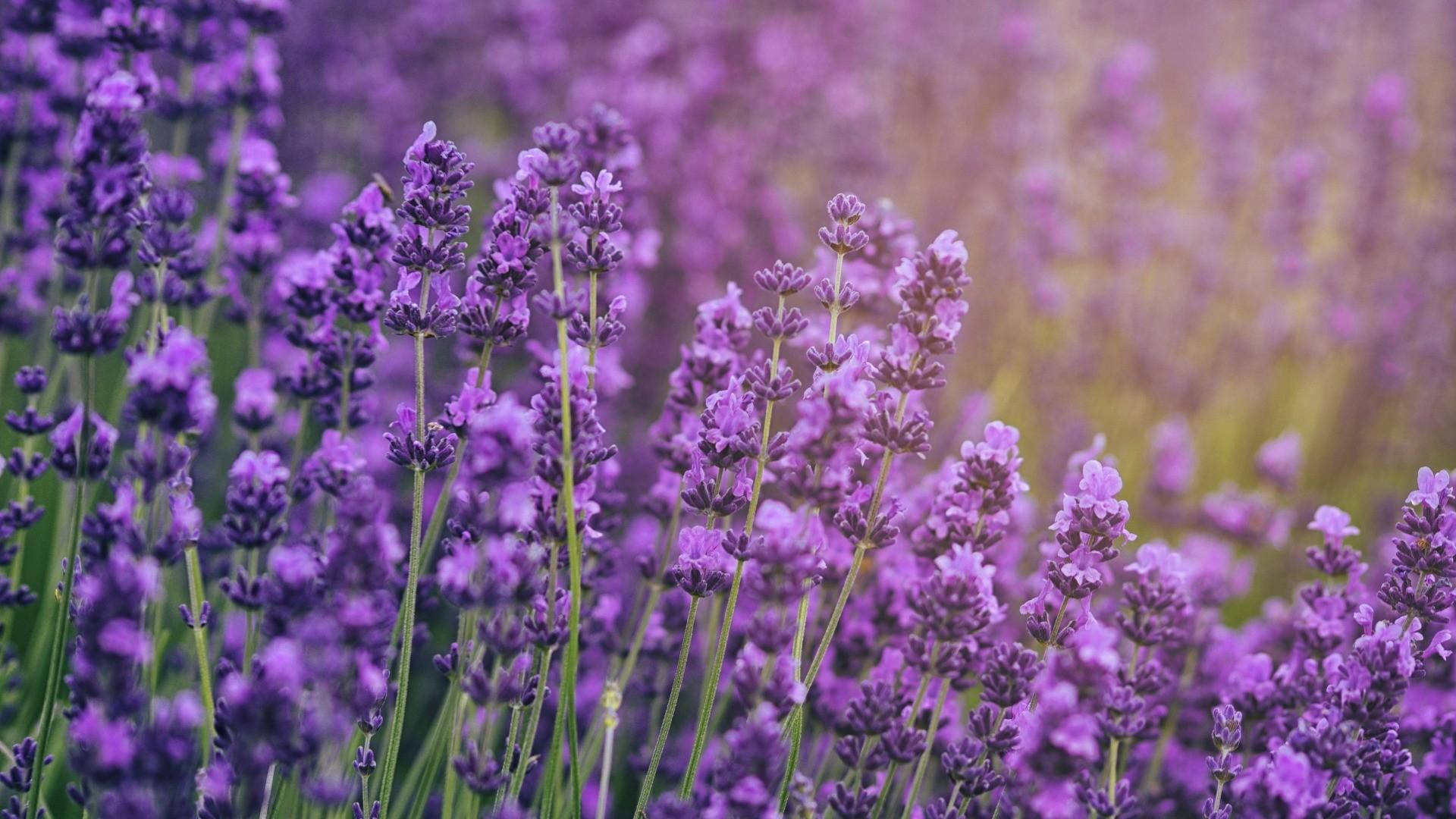 Lavender a wallpaper