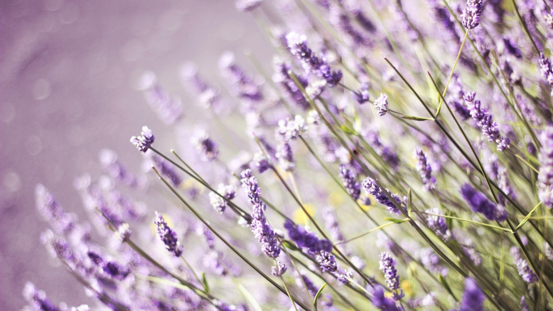 Lavender PC Wallpaper