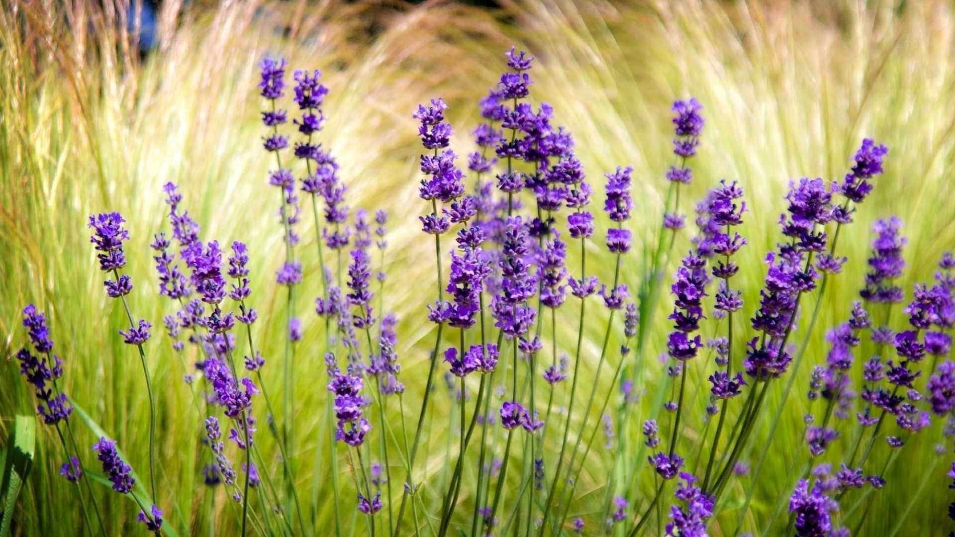 Lavender Full HD Wallpaper