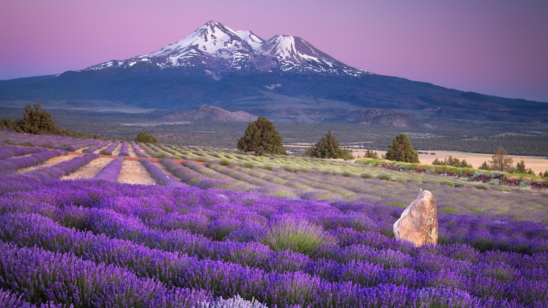 Lavender Pic