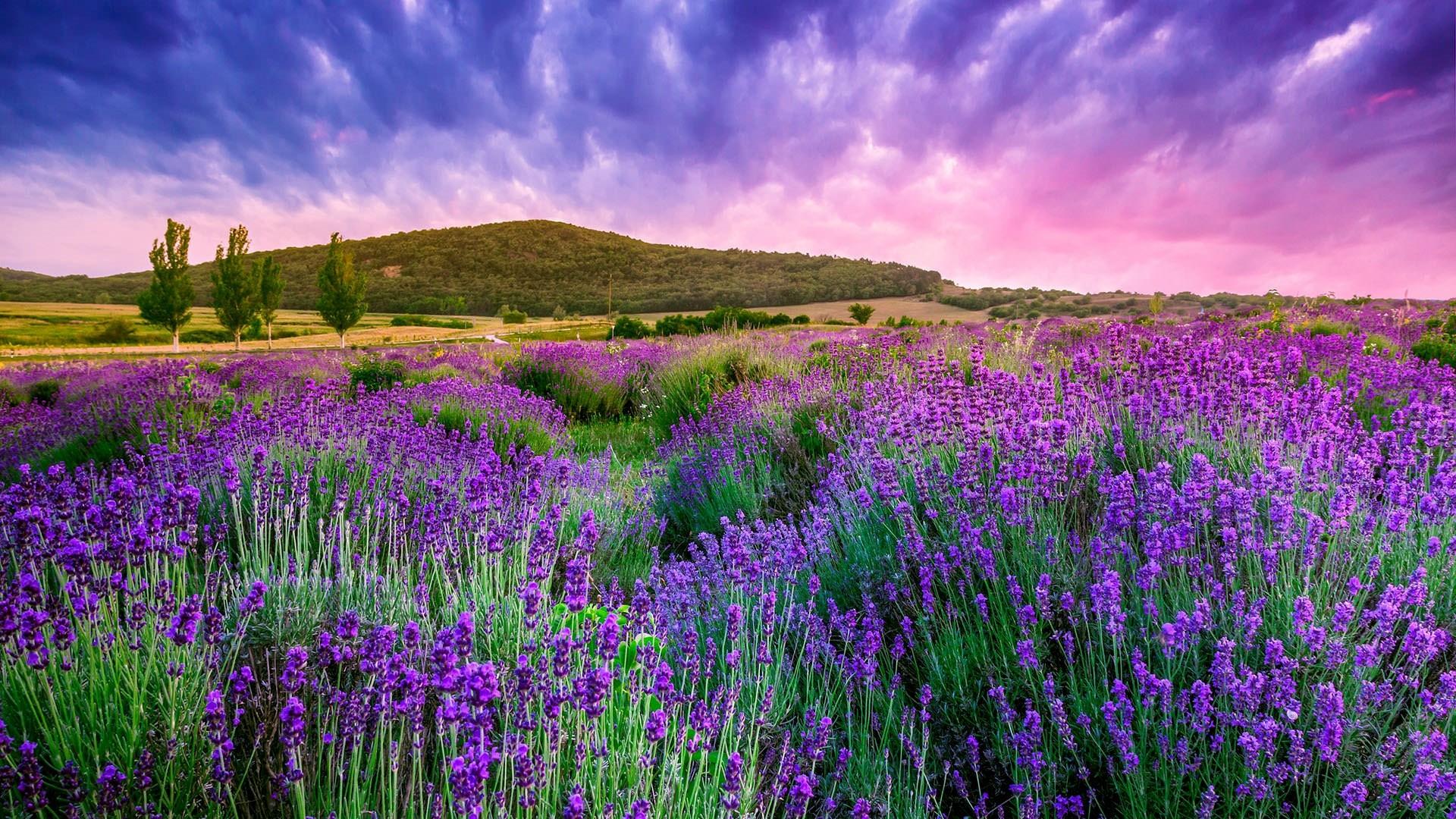 Lavender PC Wallpaper HD