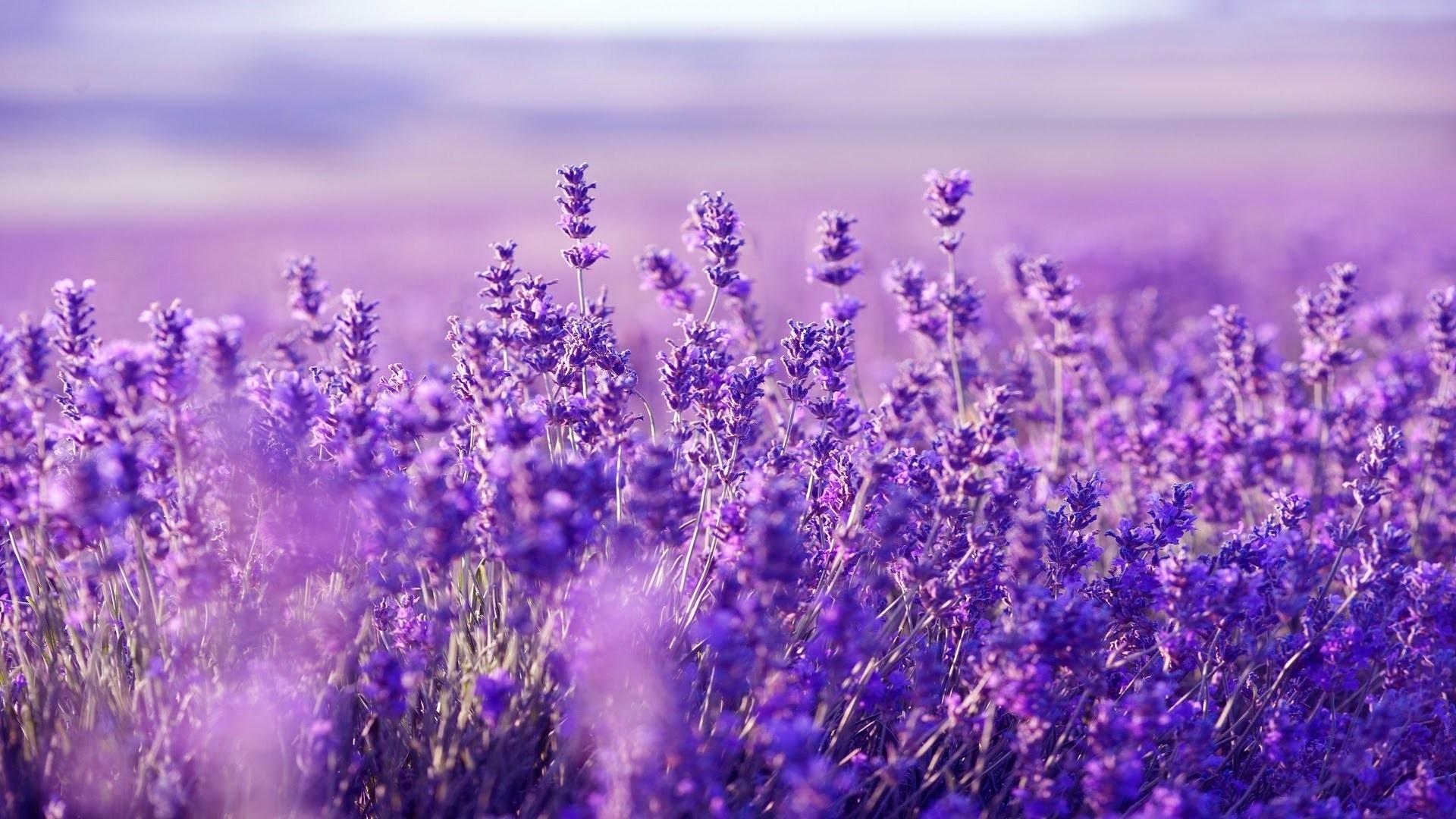 Lavender wallpaper photo hd