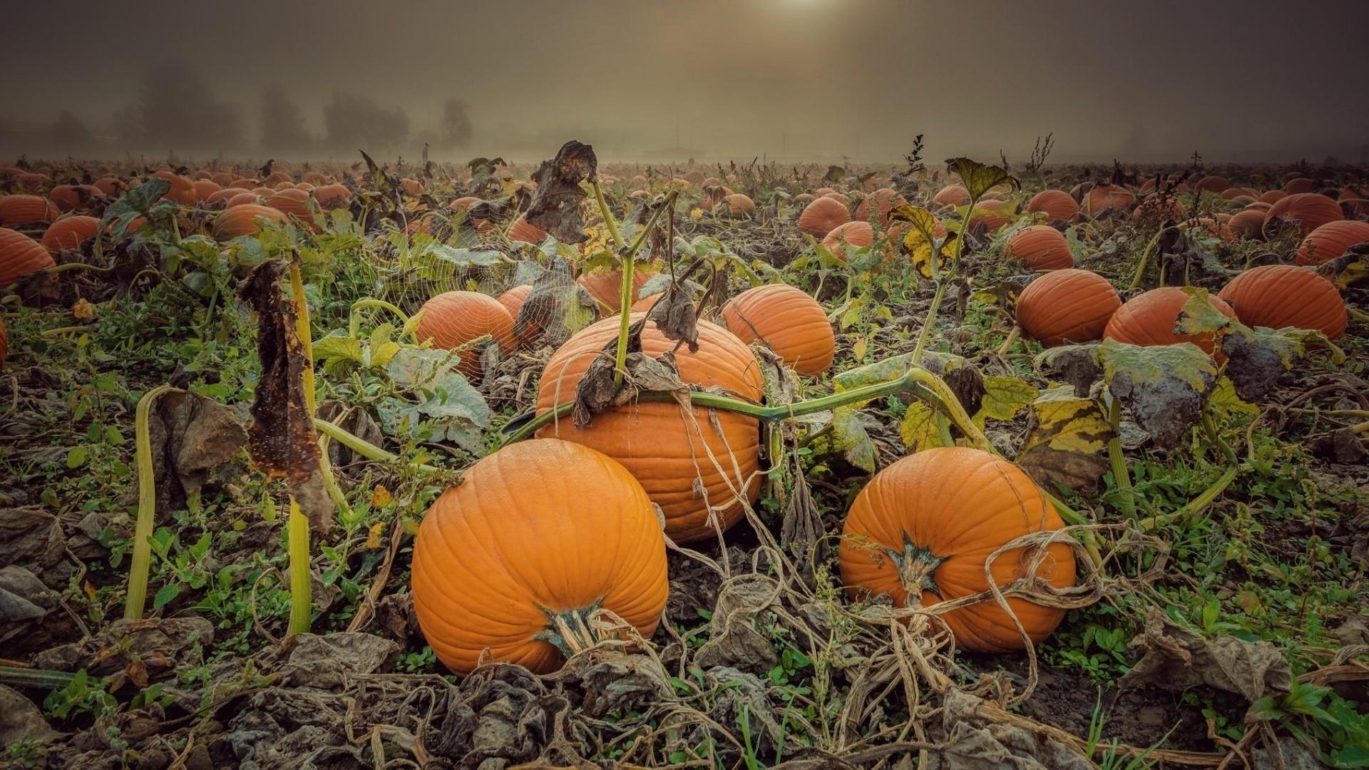 Pumpkin HD Download