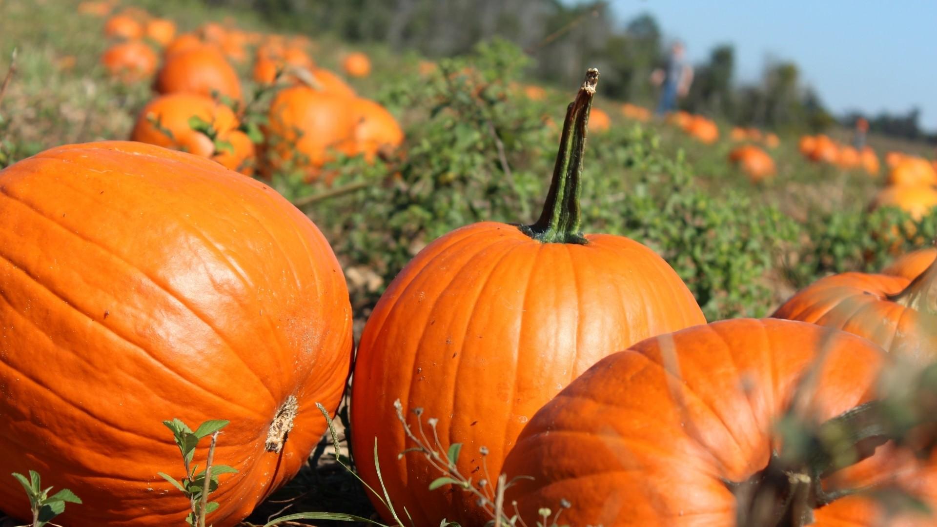 Pumpkin wallpaper photo hd