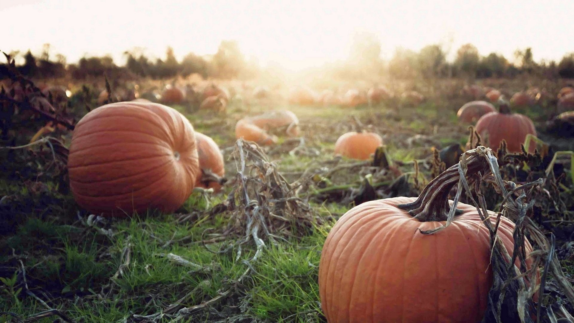 Pumpkin Full HD Wallpaper