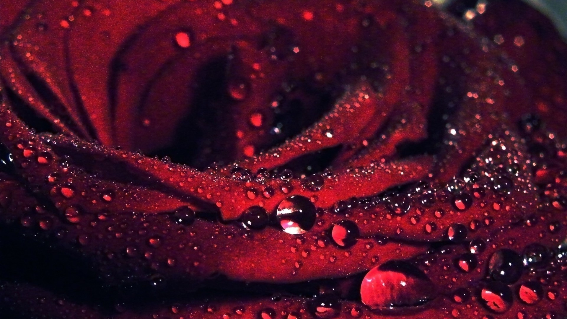 Red Rose Pic