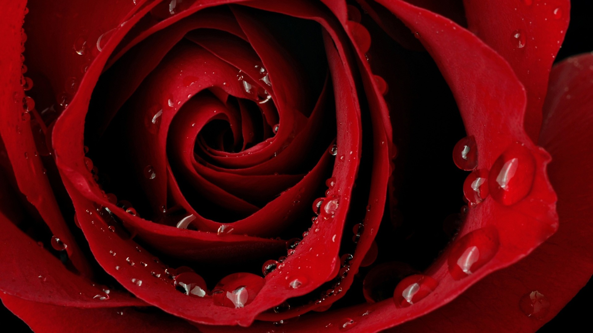 Red Rose HD Wallpaper