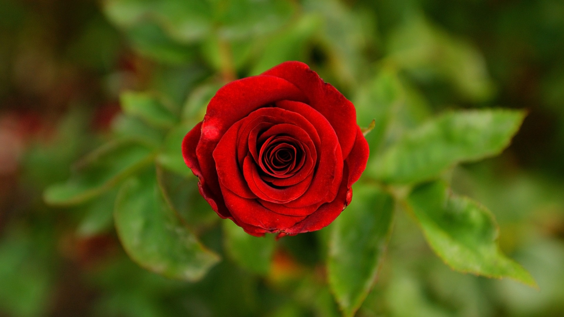Red Rose High Quality