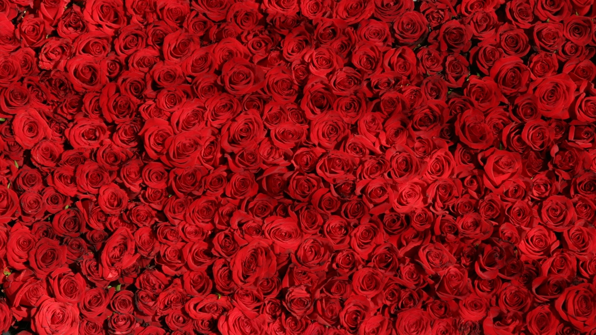 Red Rose Desktop Wallpaper