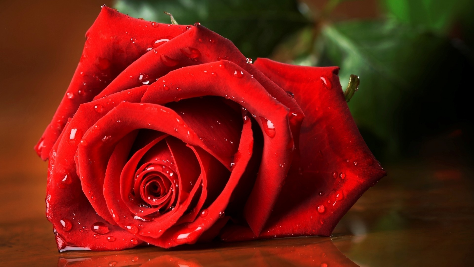 Red Rose Wallpaper and Background