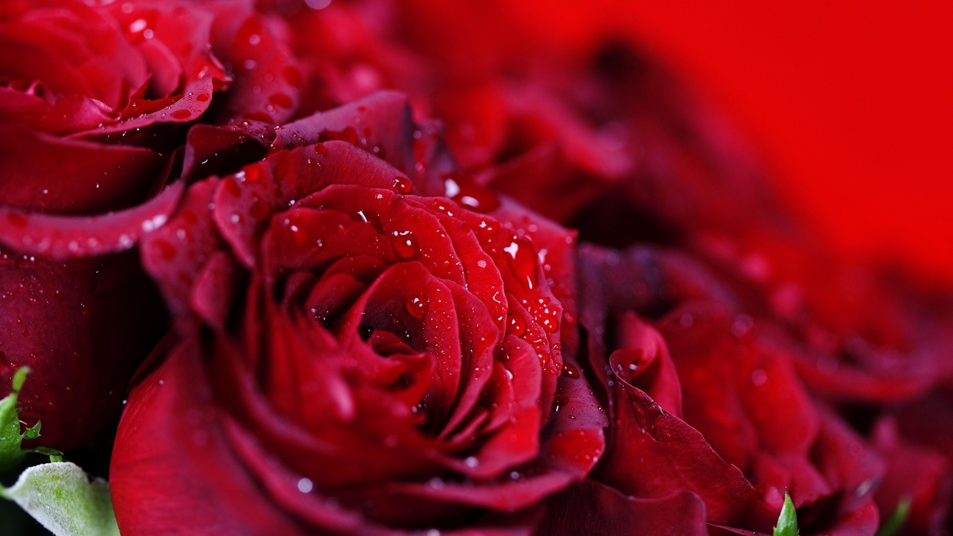 Red Rose hd wallpaper download