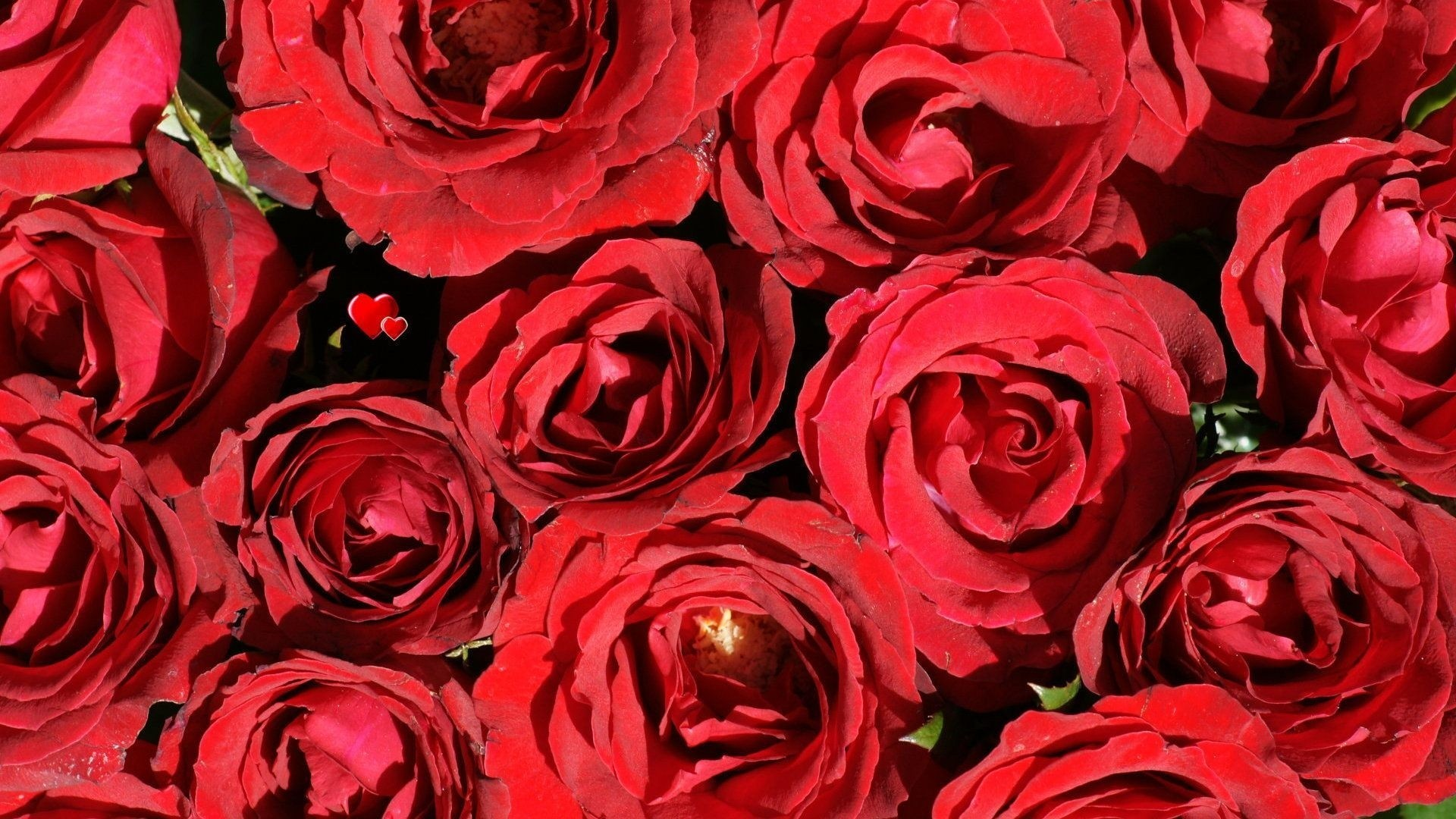 Red Rose computer wallpaper
